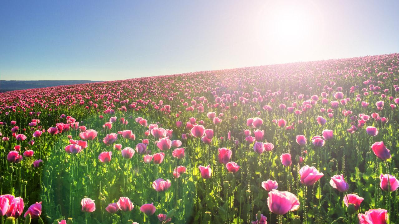 Hình nền cánh đồng hoa đẹp
