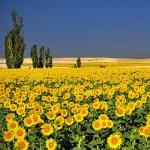 canh-dong-hoa-huong-duong-tuyet-dep-sunflowers-field