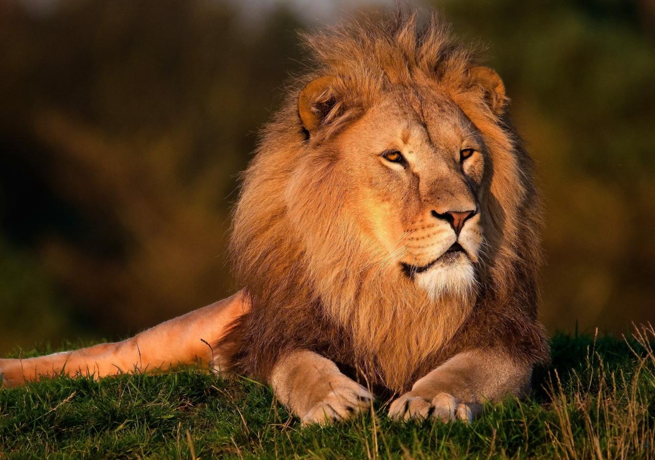 Top 15 hình nền sư tử (lion) đẹp cho máy tính